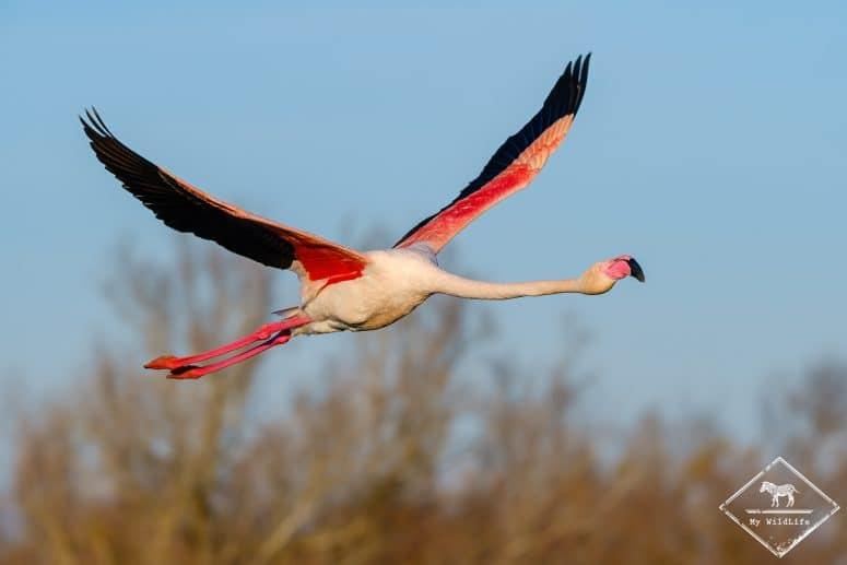 Flamant rose en vol, parc ornithologique de Pont de Gau