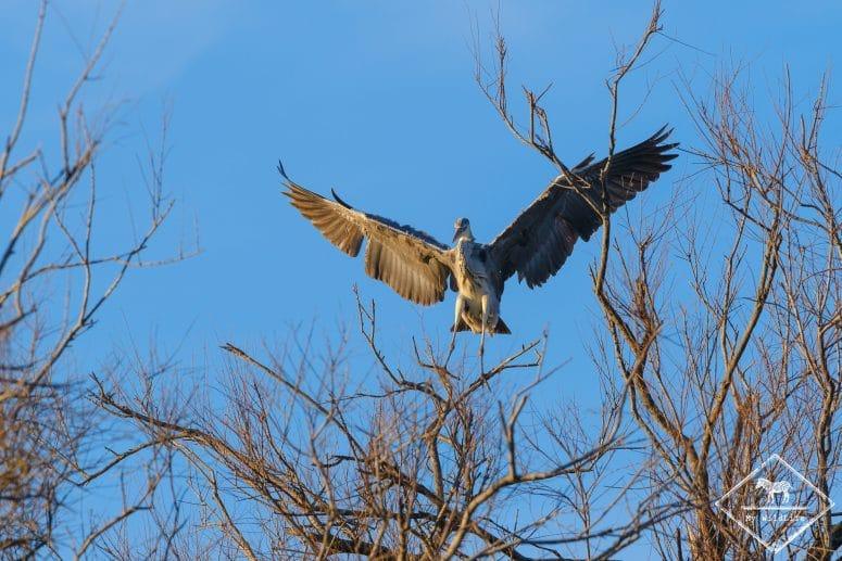 Héron cendré, parc ornithologique de Pont de Gau