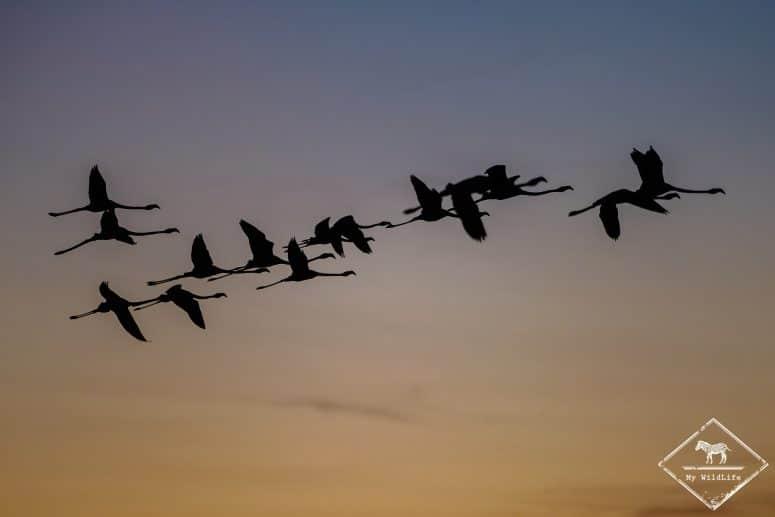 Flamants roses en vol, parc ornithologique de Pont de Gau