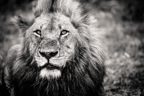 Tirage photo lion n&b