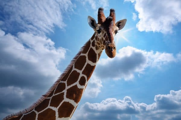 Tirage photo girafe réticulée