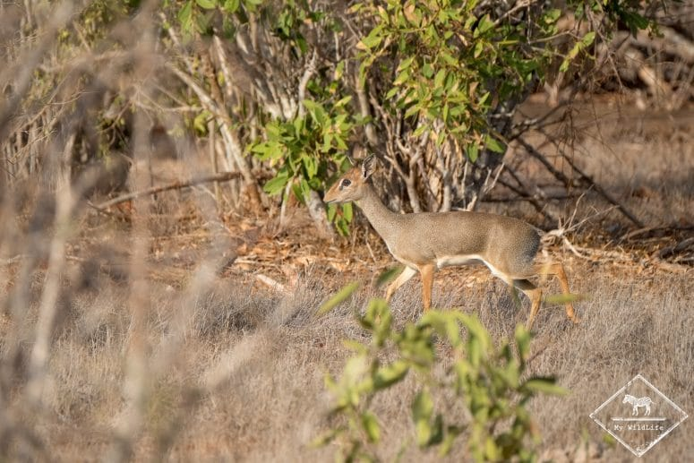 Dik-dik, parc national Tsavo Est