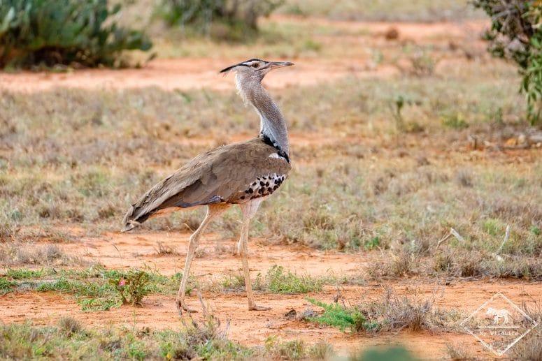 Outarde kori, parc national Tsavo Est