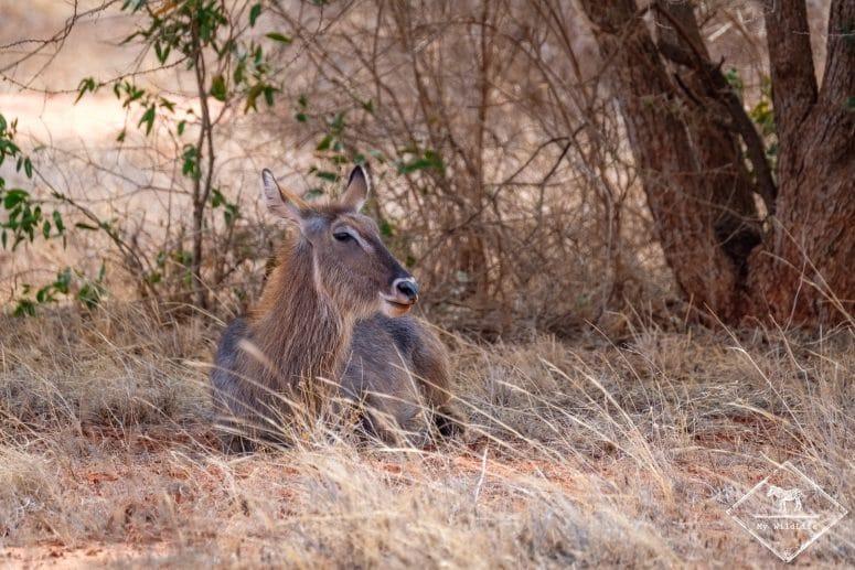 Cobe, parc national Tsavo Est