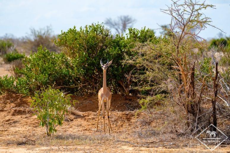 Gérénuk, parc national Tsavo Est