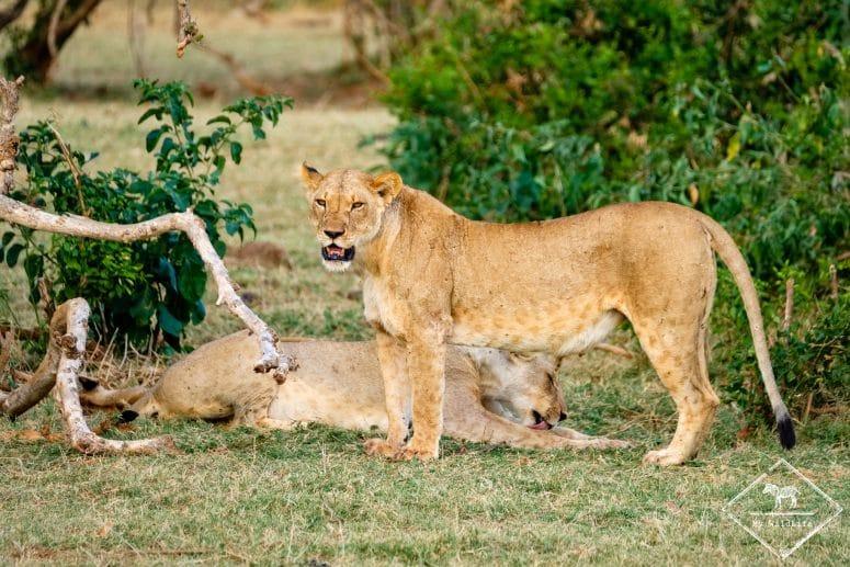 Lionnes, parc national Tsavo Est