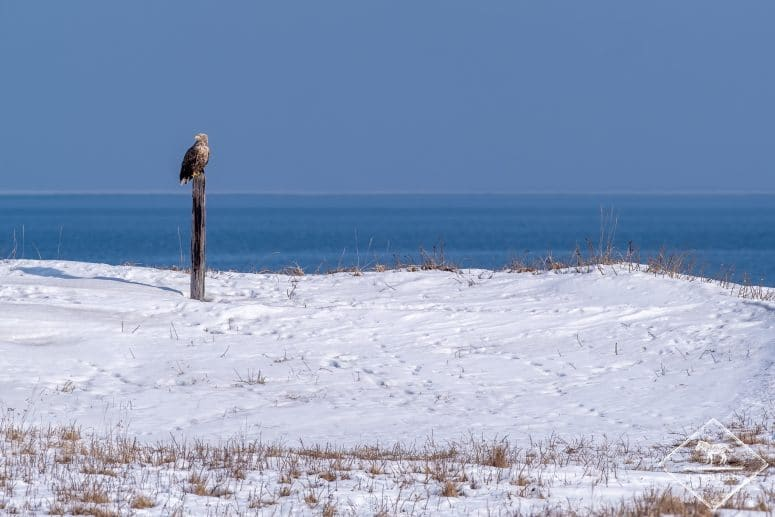 Pygargue à queue blanche, Hokkaido