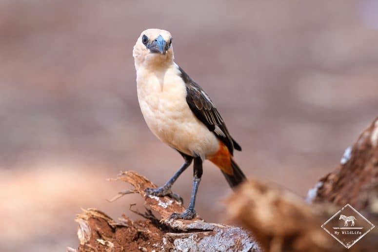 Alecto à tête blanche, Parc national Meru