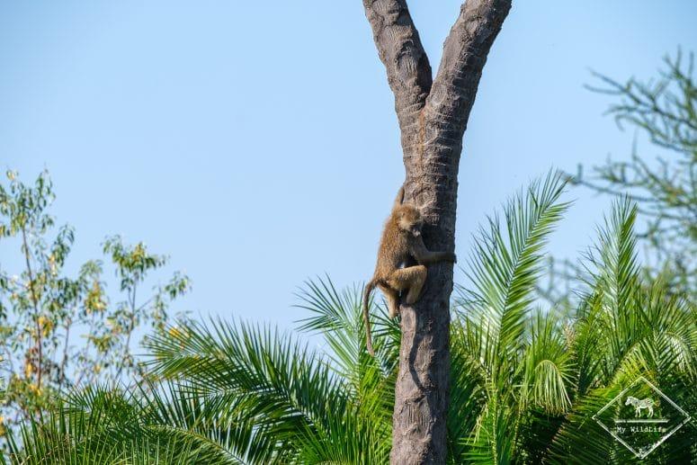Babouin, Parc national Meru