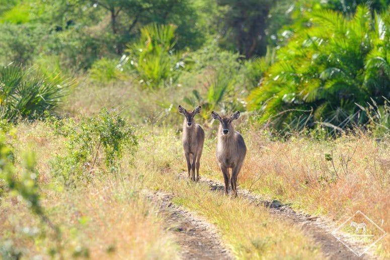 Cobes à croissant, Parc national Meru