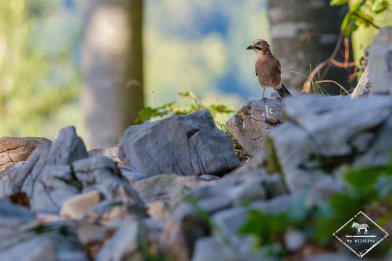 Geai des chênes, Slovénie