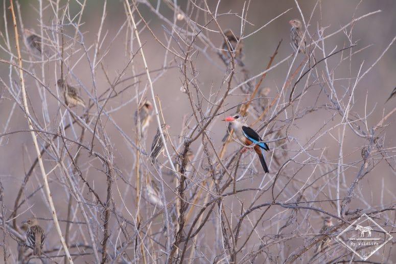 Martin-chasseur à tête grise, Parc national Meru
