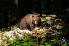 Oiseaux et ours de Slovénie