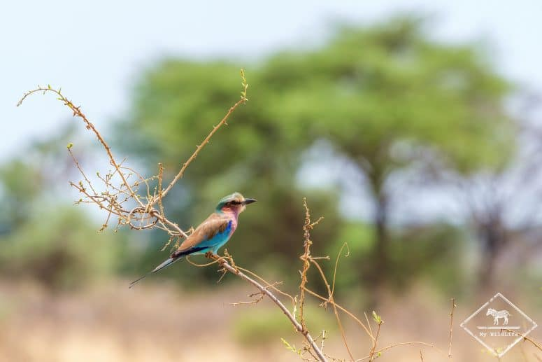 Rollier à longs brins, Parc national Meru
