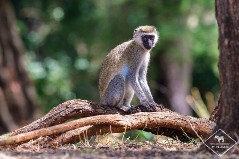 Vervet, Parc national Meru