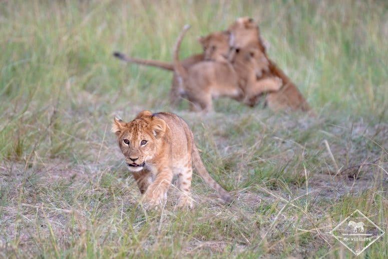 Réserve nationale de Masaï Mara, lionceau
