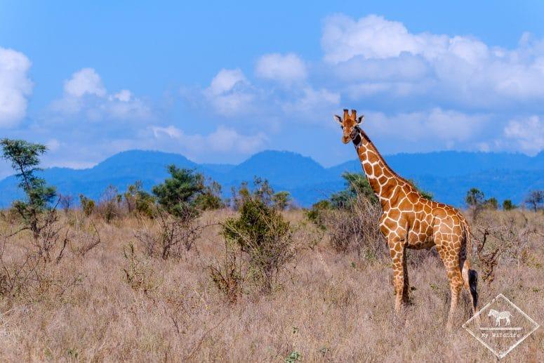 Parc national Meru, girafe réticulée