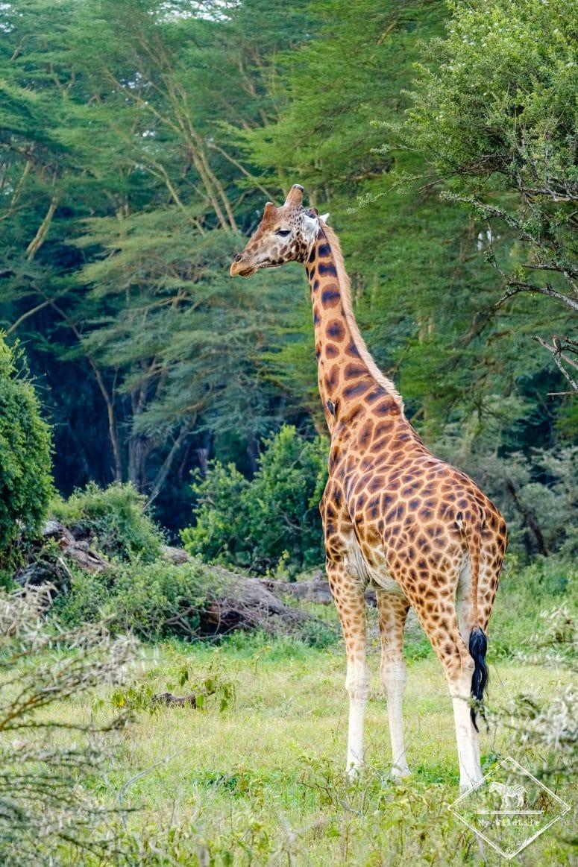 Parc national Nakuru, girafe de Rotschild