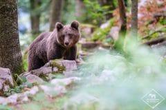 Photographier l'ours brun en Slovénie