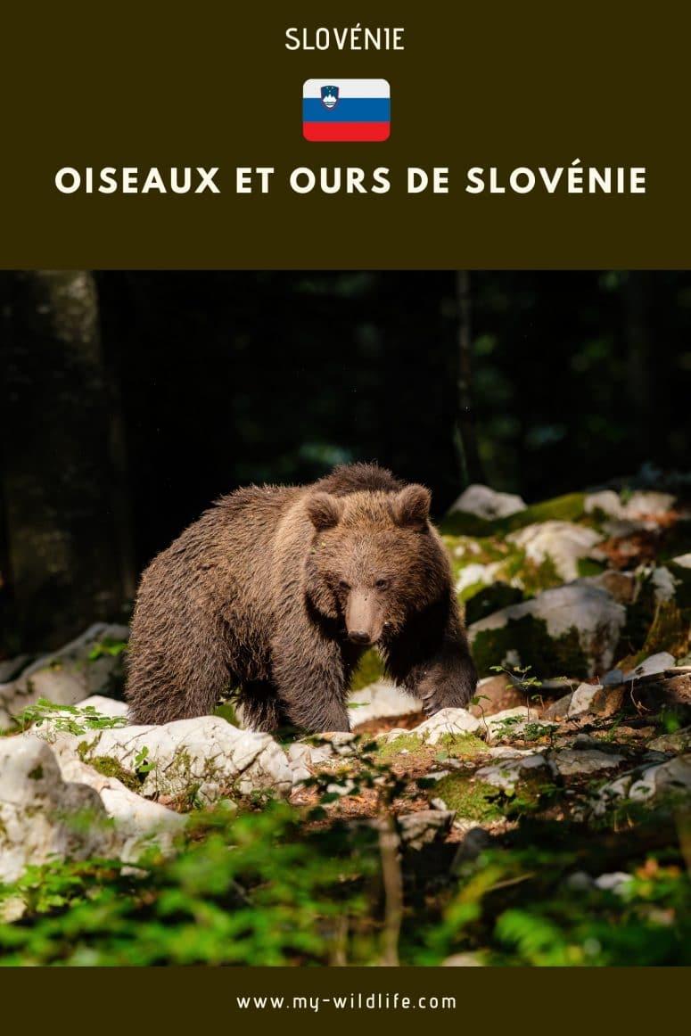 Ours et oiseaux de Slovénie