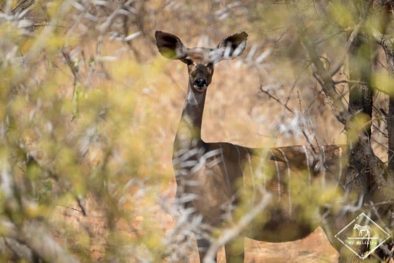 Parc national Tsavo Ouest, petit koudou