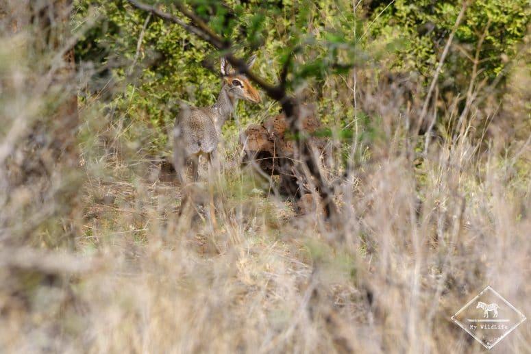 Dik-dik de Gunther, réserve nationale de Shaba