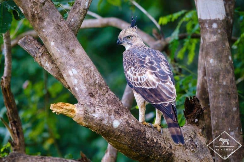 Aigle huppé, parc national Maduru Oya
