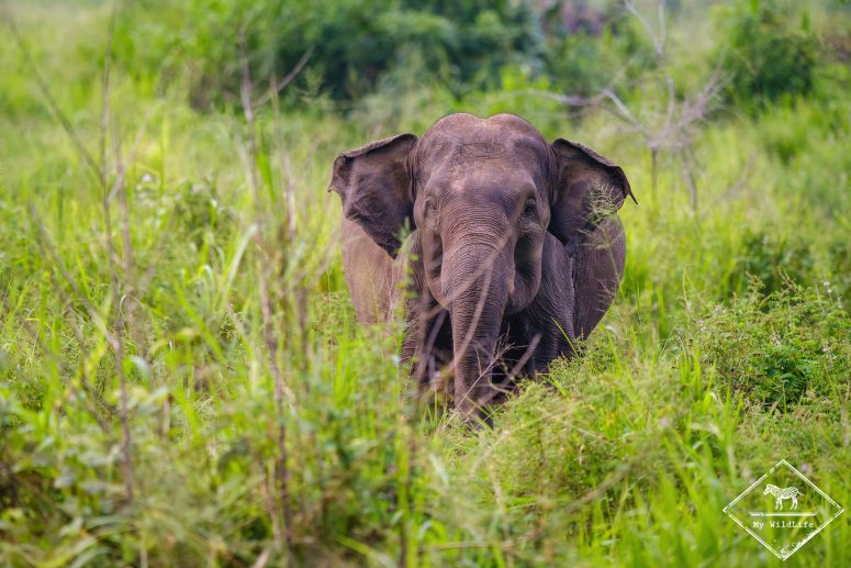 Eléphant d'Asie, parc national Maduru Oya