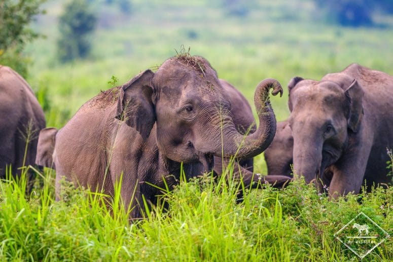 Eléphants d'Asie, parc national Maduru Oya
