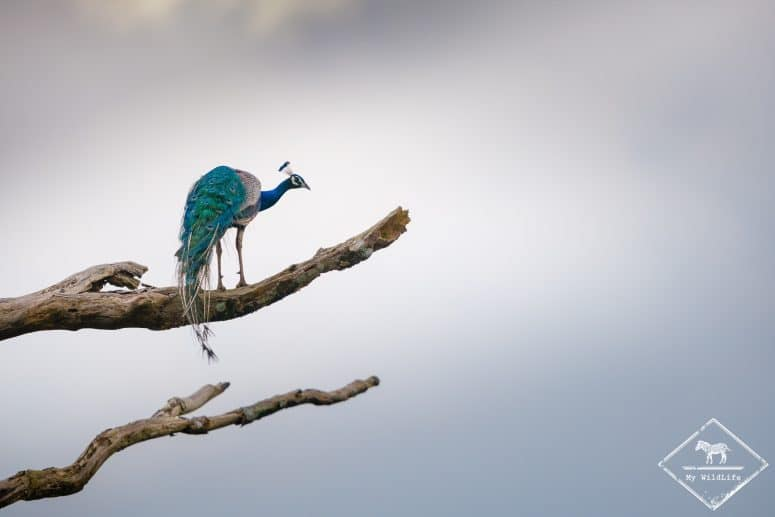 Paon bleu, parc national Maduru Oya