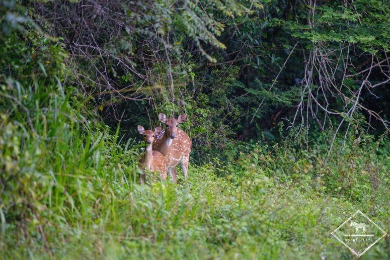 Cerfs axis, parc national Maduru Oya