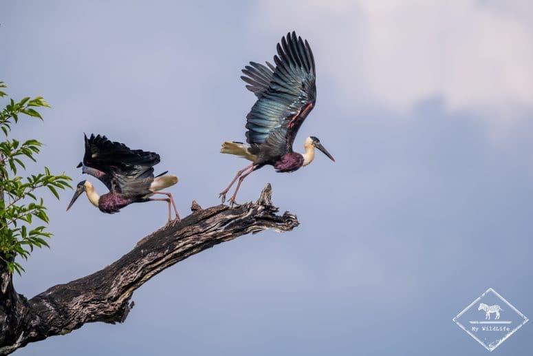Cigognes épiscopales, parc national Maduru Oya