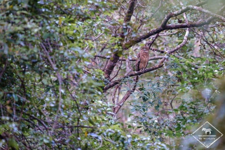 Kétoupa brun, parc national Maduru Oya