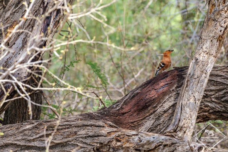 Huppe fasciée, réserve nationale de Shaba