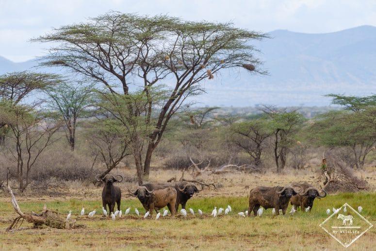 Buffles et hérons garde-bœufs, réserve nationale de Shaba