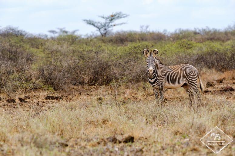 Zèbre de Grévy, réserve nationale de Shaba