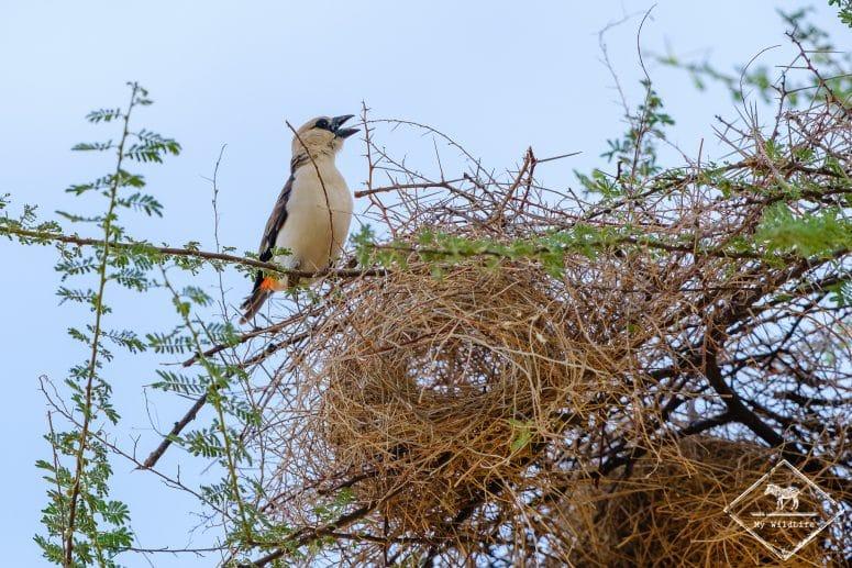 Alecto à tête blanche, réserve nationale de Shaba
