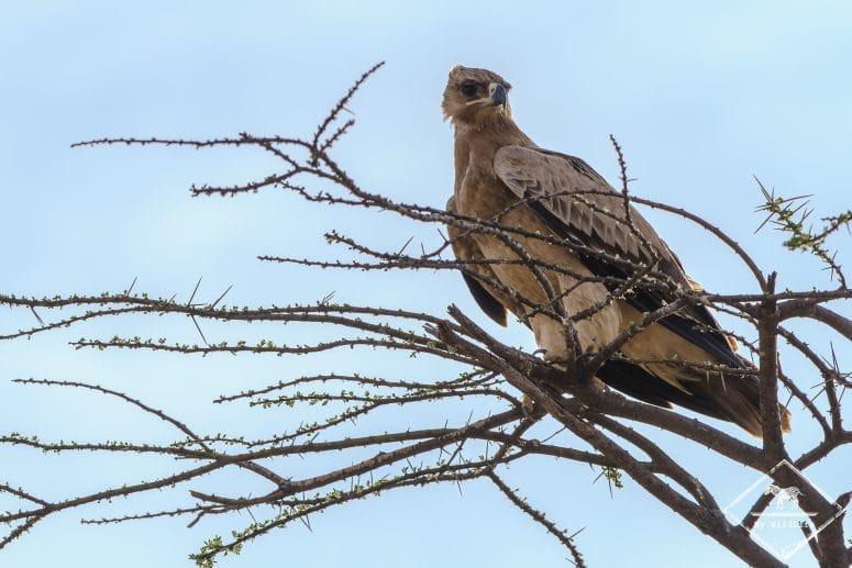 Aigle ravisseur, réserve nationale de Shaba