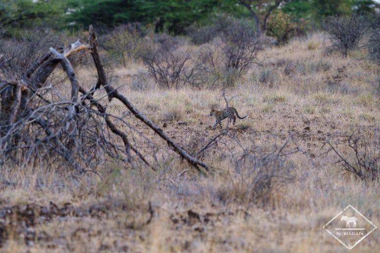 Léopard, réserve nationale de Shaba
