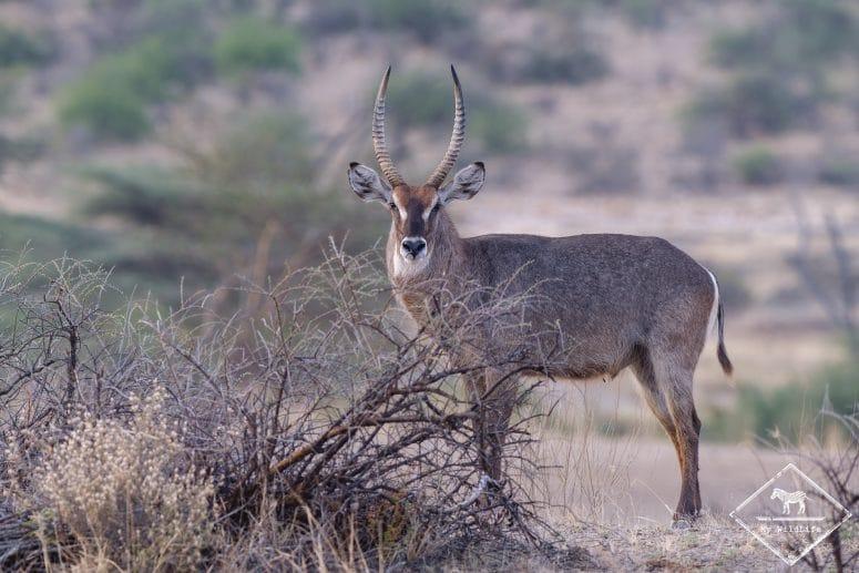 Cobes à croissant, réserve nationale de Shaba