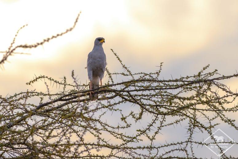 Autour à ailes grises, réserve nationale de Shaba
