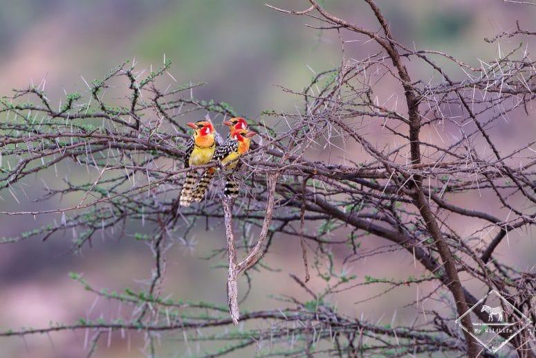 Barbicans à tête rouge, réserve nationale de Shaba