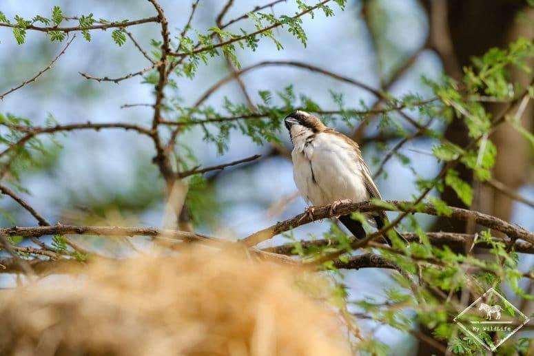 Mahali à sourcils blancs, réserve nationale de Shaba