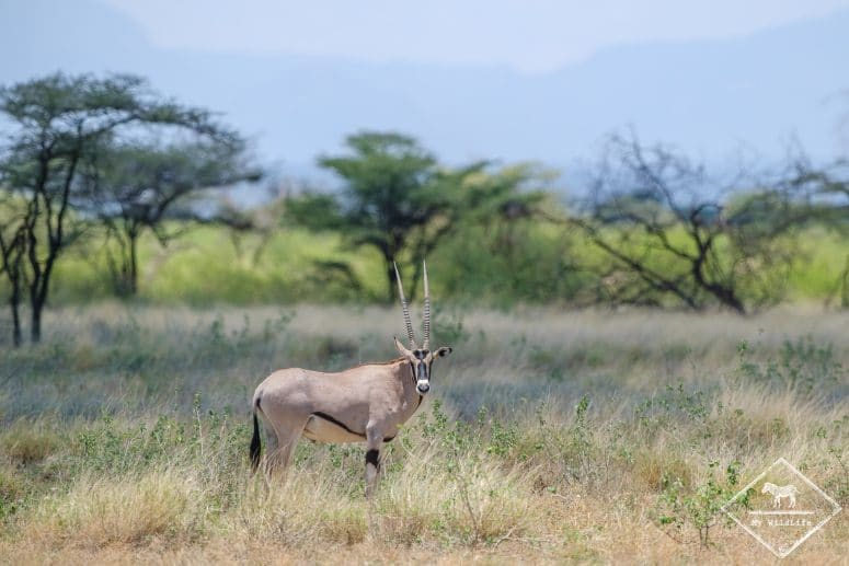 Oryx, Réserve nationale de Buffalo Springs