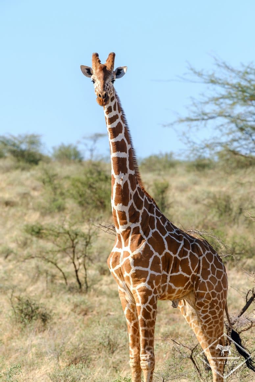Girafe réticulée, Réserve nationale de Buffalo Springs