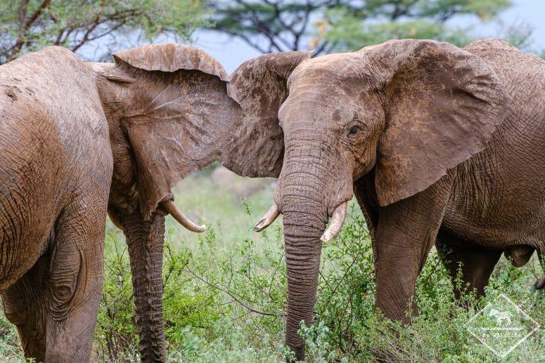 Combats d'éléphants, Buffalo Springs