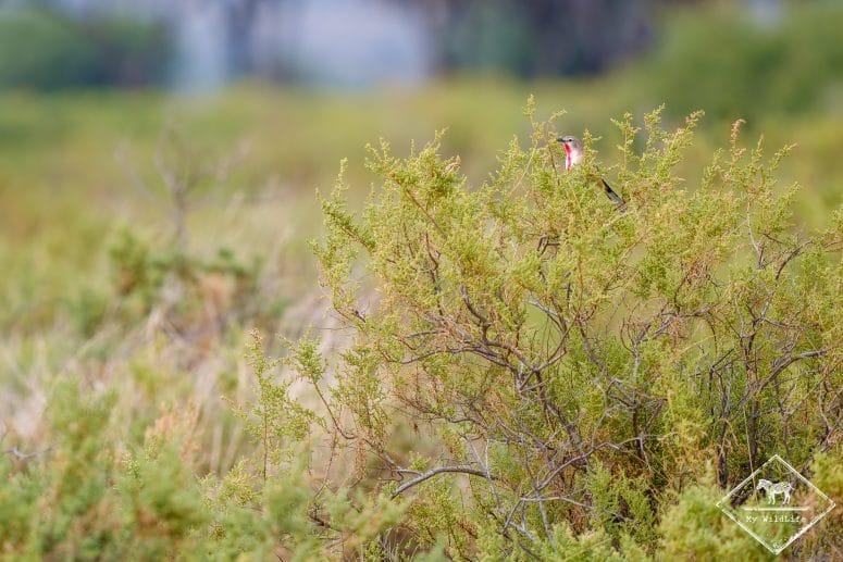 Tchagra à croupion rose, Réserve nationale Buffalo Springs