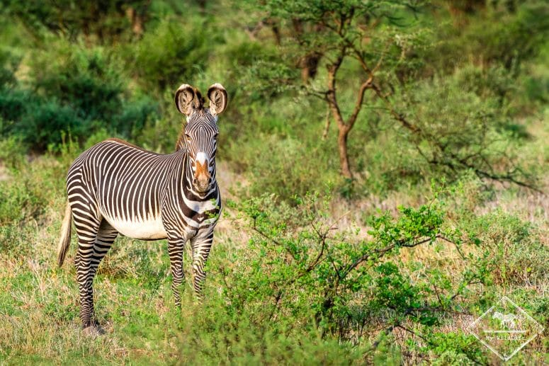 Zèbre de Grévy, Buffalo Springs National Reserve, Kenya.