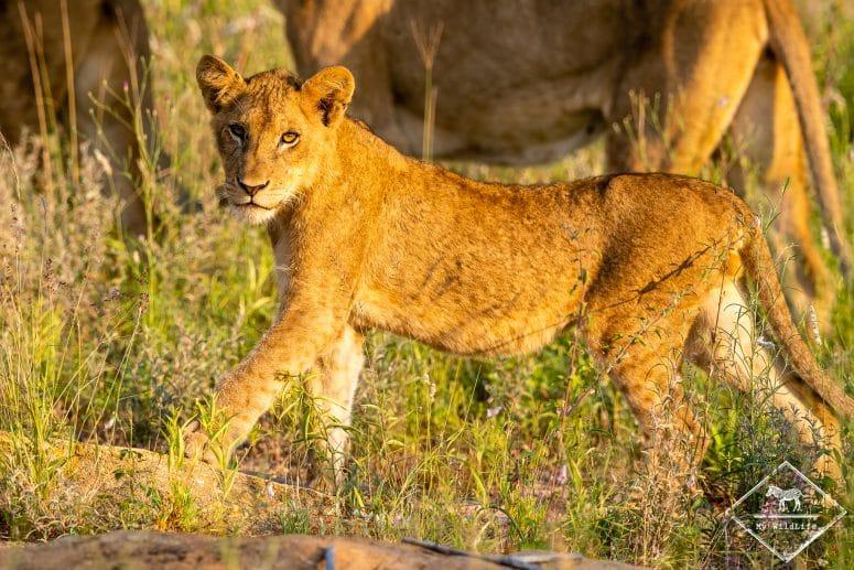 Lionceau, réserve privée de Timbavati