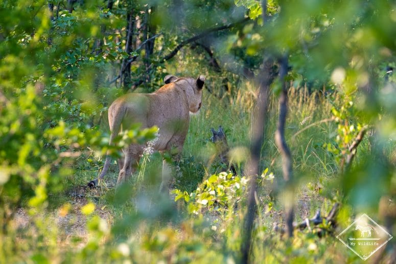 Lionne, réserve privée de Timbavati